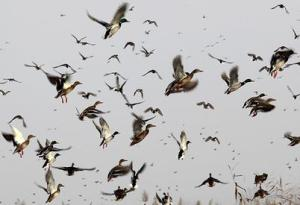 Migratory-birds-fly-above-042